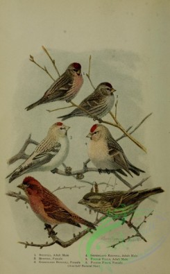 finches-00090 - Redpoll, Greenland Redpoll, Purple Finch