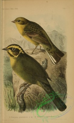 finches-00094 - orospina pratensis, Yellow-striped Brushfinch, atlapetes citrinellus