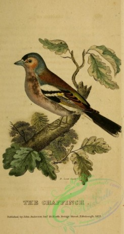 finches-00101 - Chaffinch