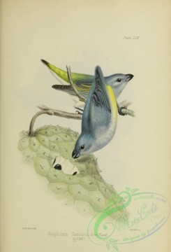 finches-00116 - Jamaican Euphonia
