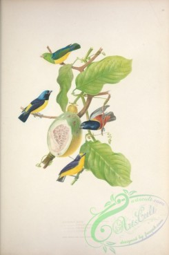 finches-00120 - 012-euphonia galoti, Golden-rumped Euphonia, Golden-sided Euphonia, Violaceous Euphonia