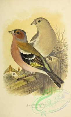 finches-00123 - Chaffinch