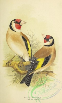 finches-00124 - Goldfinch