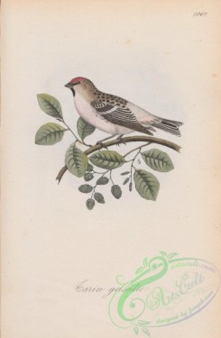 finches-00148 - 106a-Mealy Redpole, carduelis canescens