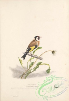 finches-00156 - Goldfinch, carduelis elegans
