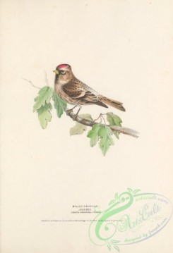 finches-00158 - Mealy Redpole, linaria canescens