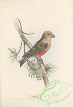 finches-00161 - Parrot Crossbill, loxia pytiopsittacus