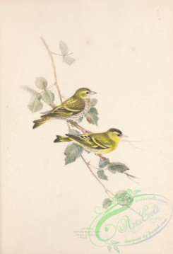 finches-00163 - Siskin, carduelis spinus