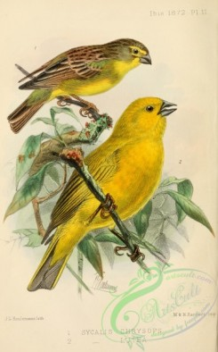 finches-00176 - sycalis chrysops, sycalis lutea