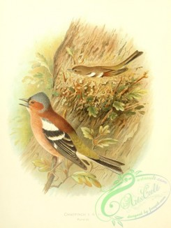 finches-00182 - Chaffinch