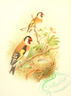 finches-00183 - Goldfinch