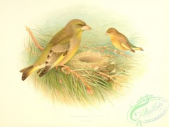 finches-00184 - Greenfinch