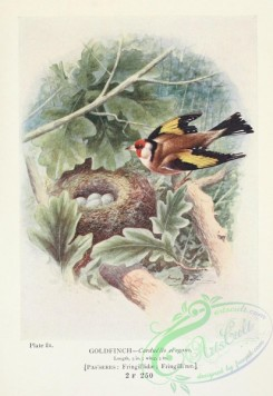 finches-00188 - Goldfinch, carduelis elegans