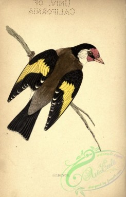 finches-00195 - Goldfinch