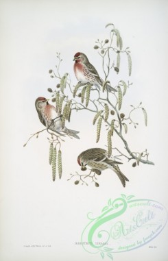 finches-00208 - 402-_giothus linaria, Mealy Redpole
