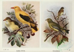 finches-00292 - Golden Oriole, Greenfinch