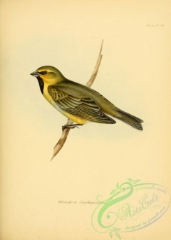 finches-00302 - Yellow-bridled Finch