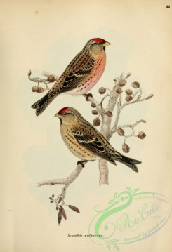 finches-00317 - acanthis rufescens