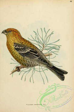 finches-00324 - Common Pine-finch, corythus enucleator, 2
