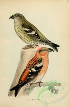 finches-00363 - Two-barred Crossbill, loxia bifasciata