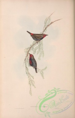 finches-00404 - Painted Finch, emblema picta