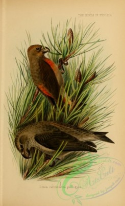 finches-00454 - Red Crossbill (North African), loxia curvirostra poliogyna
