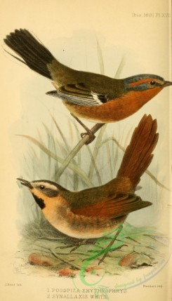 finches-00456 - Rusty-browed Warbling-Finch, synallaxis whitii