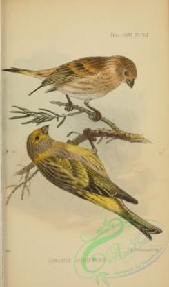 finches-00461 - serinus aurifrons