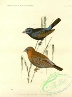 finches-00469 - Blue Bunting, cyanoloxia parellina, Varied Bunting, spiza versicolor