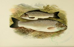 fishes-00001 - BLACK-FINNED TROUT [3998x2518]