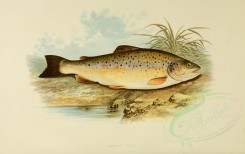 fishes-00004 - COMMON TROUT [3998x2518]