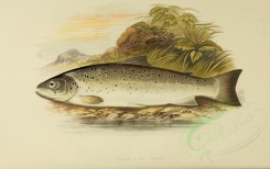 fishes-00005 - GALWAY SEA TROUT [3998x2518]