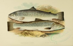 fishes-00016 - SHORT-HEADED SALMON, SILVERY SALMON [3998x2518]