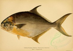 fishes-00023 - COMMON POMPANO [3726x2579]