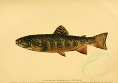 fishes-00024 - EASTERN BROOK TROUT [3486x2431]