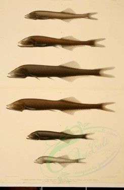 fishes-00033 - Benttooth Bristlemouth, Tan Bristlemouth, Hidden Bristlemouth, Veiled Anglemouth, cyclothone livida (L), Showy Bristlemouth [2190x3339]