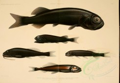 fishes-00041 - rouleina livida (L), rouleina nuda (L), Black Snaggletooth, astronesthes martensi (uL), astronesthes cyaneus (L) [3266x2255]