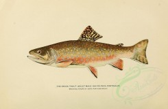 fishes-00049 - BROOK TROUT, 2 [3102x2031]