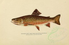 fishes-00050 - BROOK TROUT, 3 [3102x2031]