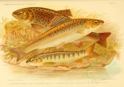 fishes-00716 - LOCH TROUT, GRAYLING, HYBRID BETWEEN SALMON PAR AND LOCHLEVEN TROUT [3630x2544]