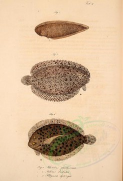 fishes-01235 - Leopard Flounder, Finless Sole, Doublelined Tonguesole [2055x3024]