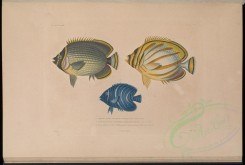 fishes-01271 - Mailed Butterflyfish, Ornate Butterflyfish, Semicircle Angelfish [7566x5086]