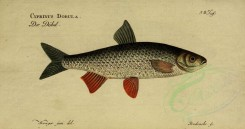 fishes-01484 - Common Dace [3811x2003]