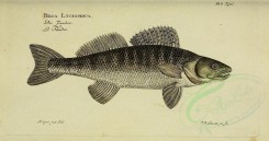 fishes-01529 - Pike-Perch [3811x2003]