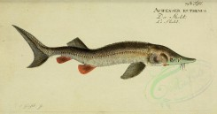 fishes-01561 - Sterlet [3811x2003]
