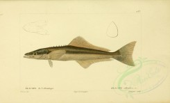 fishes-01927 - Cobia [3486x2107]