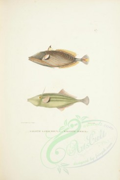 fishes-02023 - balistes lamouroux (uL), Chinaman-Leatherjacket [7675x11455]
