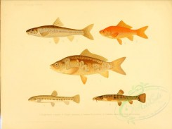 fishes-02504 - Common Carp, Goldfish, Gudgeon, Spined Loach, Stone Loach [3726x2780]