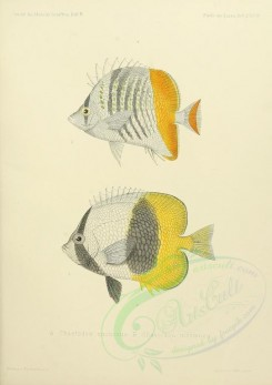 fishes-03079 - 020-chaetodon trichrous, Atoll Butterflyfish [2580x3651]