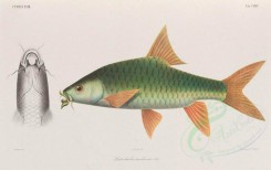 fishes-03266 - 035-labeobarbus tambroides [4986x3131]